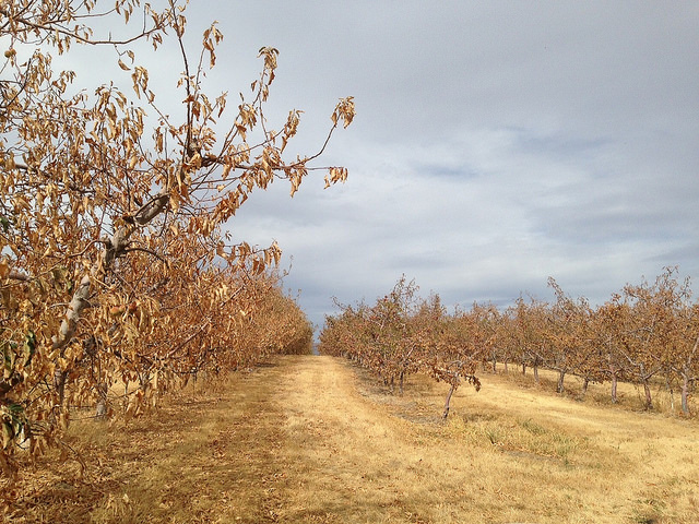 Drought Dry Orchard