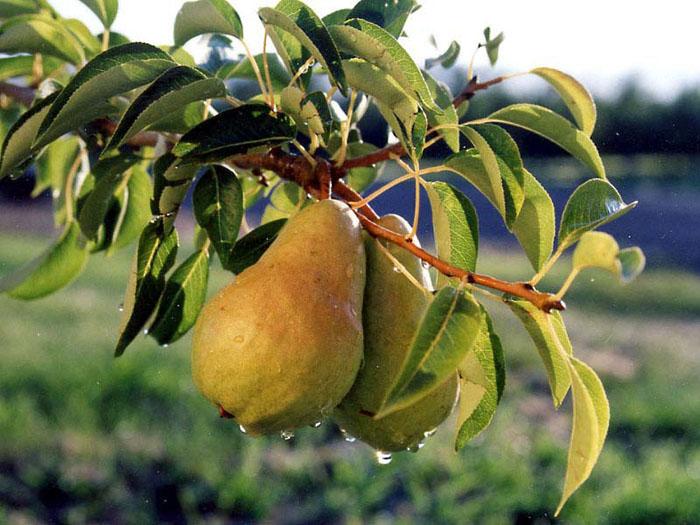 C33-100-016x  Pears.  Yakima Project, WA.